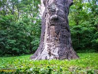 The oak of Maksym Zaliznyak