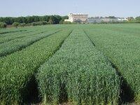 Миронівський інститут пшениці імені В.М. Ремесла